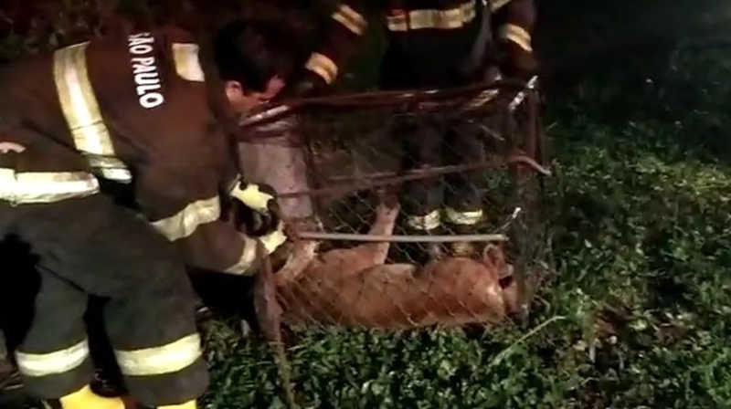 Animal foi capturado por equipes do Corpo de Bombeiros e sedado por um veterinário — Foto: Reprodução
