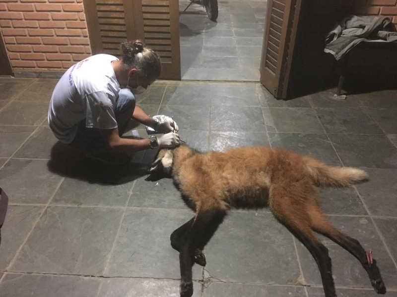 Lobo-guará é encontrado morto após ser atropelado na rodovia Oswaldo Cruz, em São Luiz do Paraitinga, SP