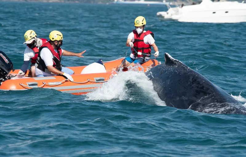 Baleia-jubarte é resgatada após ficar presa em rede de pesca no canal de São Sebastião, SP
