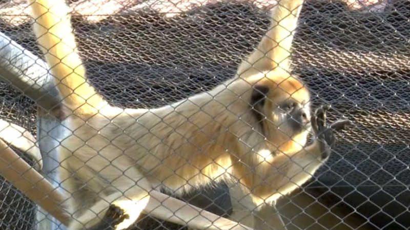 Macacas da espécie Bugio Preto são novas moradoras do Parque do Cerrado, em Luis Eduardo Magalhães — Foto: Reprodução/TV Oeste
