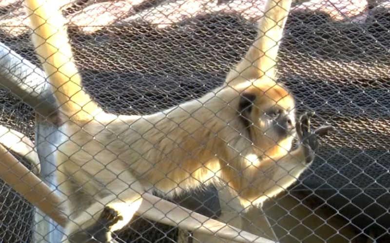 Macacas resgatadas em cativeiro ilegal do TO são levadas a parque da Bahia e conviverão com outros animais