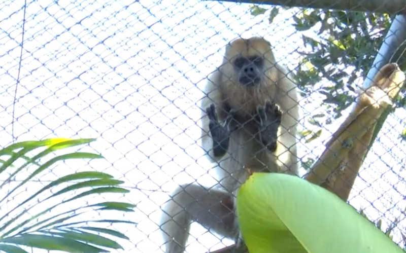 Macacas da espécie bugio-preto são novas moradoras do Parque do Cerrado, em Luis Eduardo Magalhães — Foto: Reprodução/TV Oeste