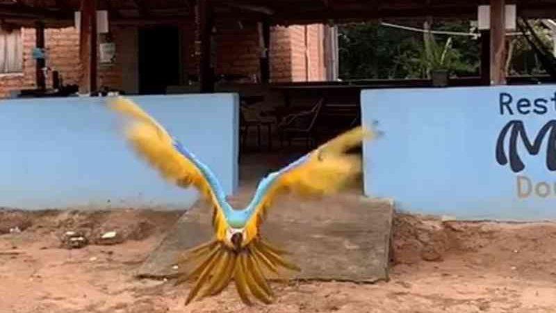 Moradores impedem Naturatins de capturar arara que vive no Jalapão e interage com turistas: 'Ela vive livre'