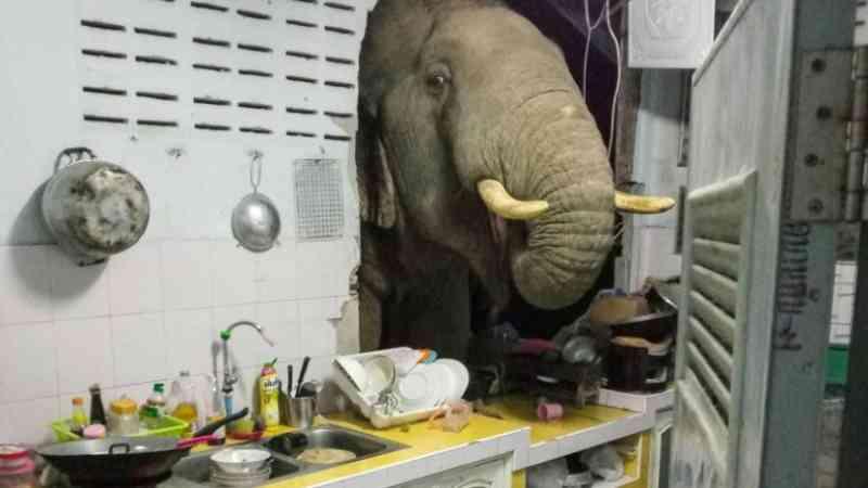 Família tailandesa recebe visita constante de elefante em sua cozinha