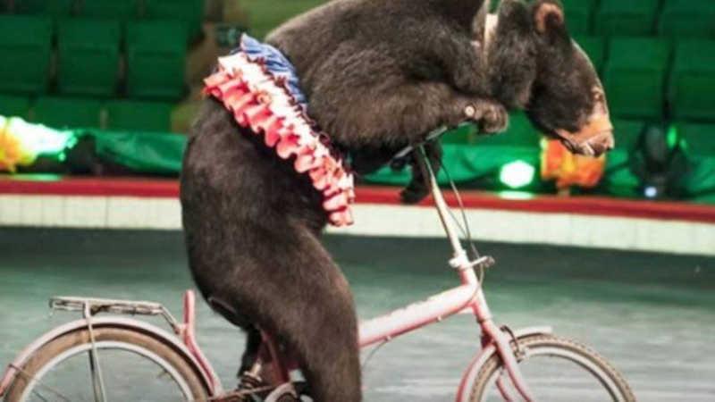 Ursos se 'aposentam' de circo após sete anos de luta de entidade pela liberdade dos animais