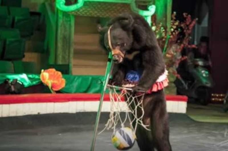 Urso joga basquete em circo no Vietnã Foto: Divulgação/Animals Asia