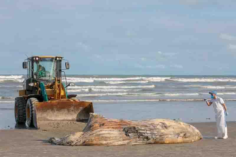 Carcaça de baleia-jubarte encalha em praia do litoral de SP
