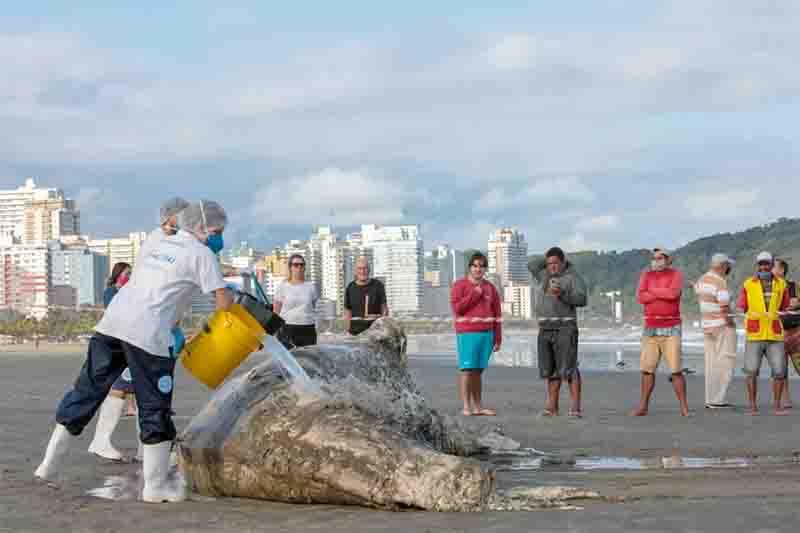 Baleia Jubarte macho foi encontrada na Praia da Guilhermina, em Praia Grande, SP. Foto: Divulgação/Prefeitura de Praia Grande