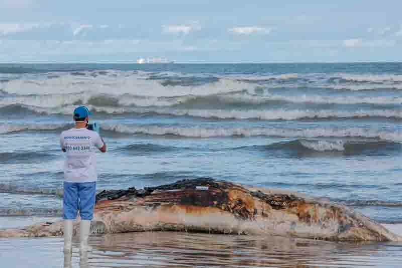 Carcaça de baleia jubarte foi encontrada em estado avançado de decomposição, em Praia Grande, SP. Foto: Divulgação/Prefeitura de Praia Grande