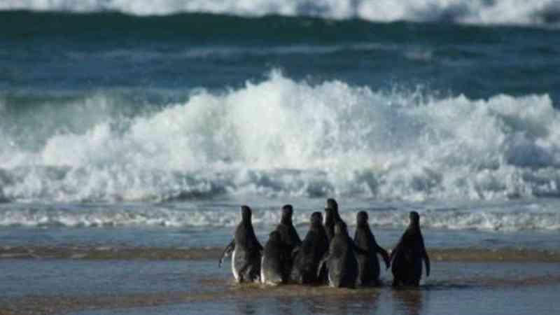 Temporada de pinguins no litoral: saiba como ajudar no resgate da ave