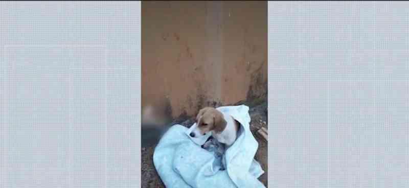 Animal foi atropelado por um carro e quebrou as duas patas e o fêmur no interior do Acre. — Foto: Reprodução/Rede Amazônica Acre