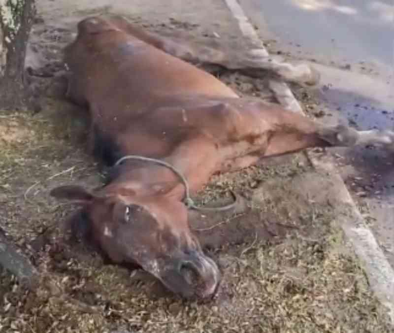 Cavalo vítima de maus-tratos é sacrificado em Maceió, AL