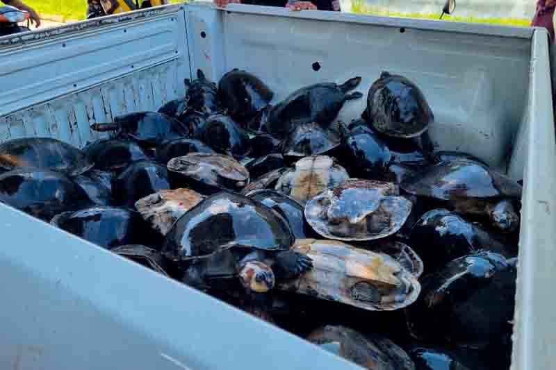 Polícia Civil resgata 81 quelônios de cativeiro no Amazonas