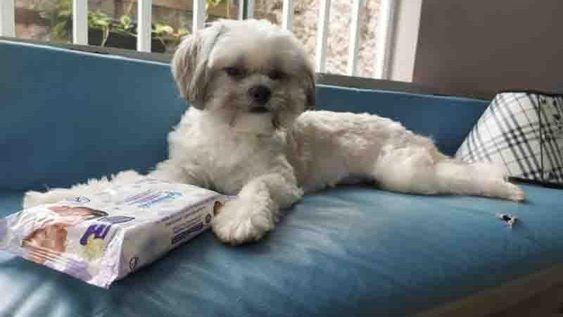 Shih-tzu que teria sofrido agressões quando estava em pet shop em Macapá. Foto: Lidiana Alves/Arquivo