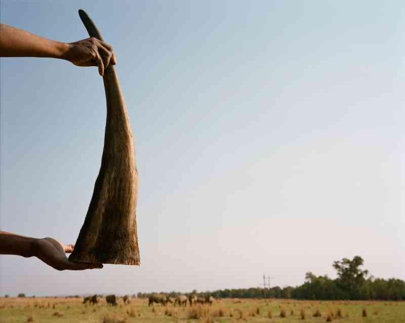 Um supervisor da fazenda segura um chifre recém cortado. Ele será armazenado ao lado de anos de chifres estocados. Hume e outro criador de rinocerontes venceram um processo legal contra o governo da África do Sul para suspender a proibição sobre o comércio nacional de chifres de rinocerontes. FOTO DE DAVID CHANCELLOR, KIOSK