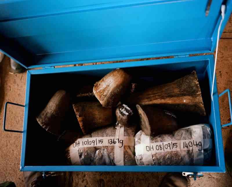 Os chifres de rinocerontes e suas aparas são armazenados em um cofre. O comércio ilegal está em expansão. A demanda vem principalmente do Vietnã, onde se acredita que eles têm propriedades medicinais. Um político vietnamita chegou a dizer que um chifre de rinoceronte curou seu câncer. FOTO DE DAVID CHANCELLOR, KIOSK