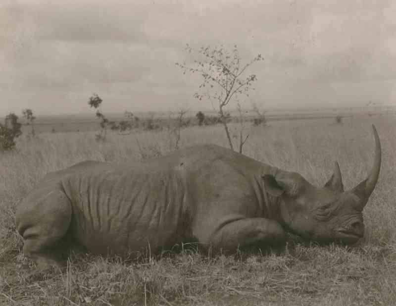 CAÇADO – Foto de uma reportagem de 1909 da revista National Geographic sobre o lugar onde Theodore Roosevelt, que já tinha deixado a presidência dos Estados Unidos, provavelmente caçava na África. O rinoceronte tinha sido abatido por caçadores no Quênia. FOTO DE CARL E. AKELEY, NATIONAL GEOGRAPHIC CREATIVE