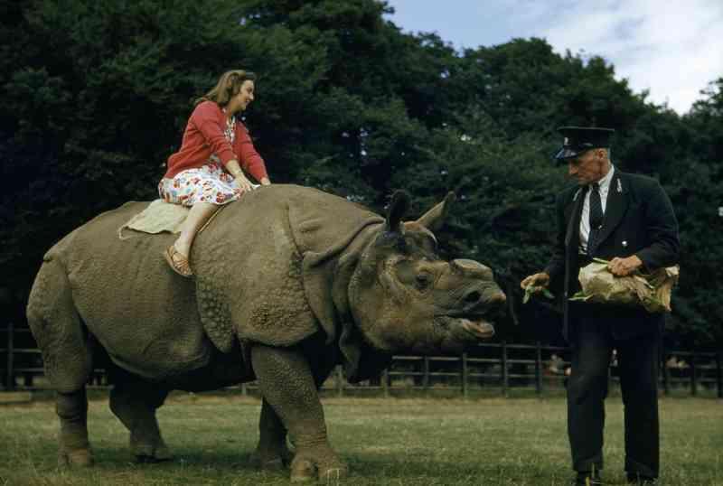 Em um zoológico de Londres na década de 1950, um cuidador alimenta, com vagem, rinoceronte que carrega uma mulher. FOTO DE B.A. STEWART AND DAVID S. BOYER, NATIONAL GEOGRAPHIC CREATIVE