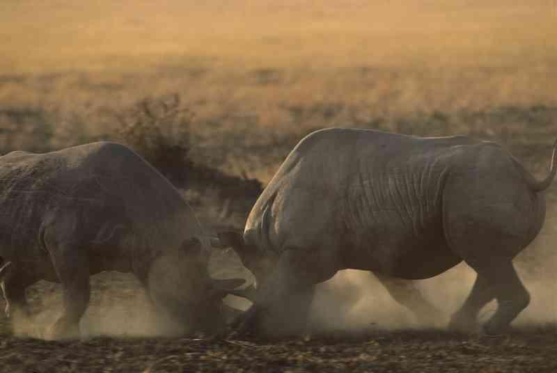 Criticamente ameaçados de extinção, rinocerontes negros duela na Reserva Nacional Masai Mara, no Quênia, em 2008. O país já perdeu dezenas de rinocerontes para caçadores ilegais nos últimos anos. FOTO DE GERRY ELLIS, MINDEN PICTURES