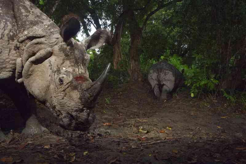 Rinoceronte-indiano segue uma companheira no Parque Nacional Kaziranga, na Índia, em 2007. FOTO DE STEVE WINTER, NATIONAL GEOGRAPHIC CREATIVE