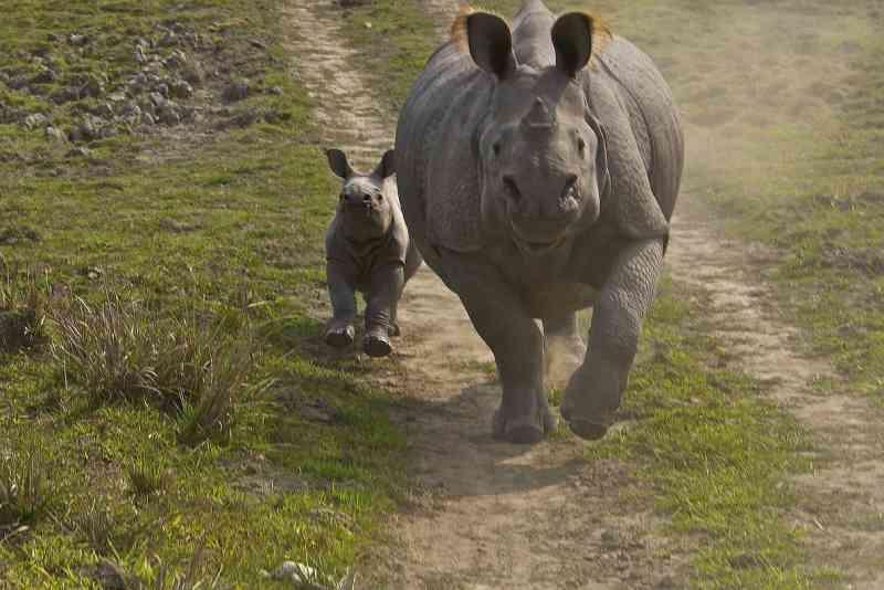 Um rinoceronte-indiano e seu filhote correm ao longo de uma caminho de terra no Parque Nacional Kaziranga, na Índia, em 2008. FOTO DE STEVE WINTER, NATIONAL GEOGRAPHIC CREATIVE