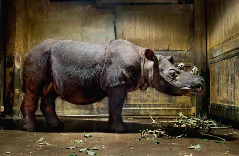 Rinoceronte-de-sumatra de cativeiro descansa no Zoológico de Cincinnati, nos EUA. A espécie, criticamente ameaçada, teve a população reduzida em mais de 80% em apenas três gerações. A causa, caça furtiva, deve continuar a ameaçar o futuro do animal. FOTO DE ROBERT CLARK, NAITONAL GEOGRAPHIC CREATIVE
