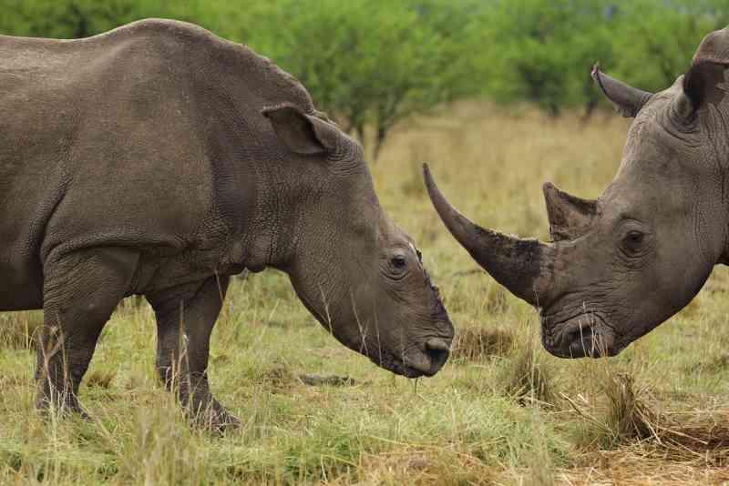 Alguns rinocerontes, como este na África do Sul, sobrevivem ao ataque de caçadores. Os criminosos buscam o chifre, feito inteiramente de queratina, a mesma substância de unhas e cabelos humanos. FOTO DE BRENT STIRTON, REPORTAGE FOR WWF