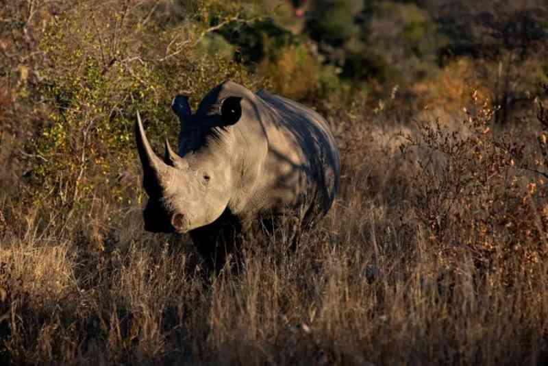 Rinoceronte-branco-do-sul no Parque Nacional Kruger, na África do Sul, que abriga a maior população de rinocerontes selvagens do mundo. FOTO DEGODONG, GETTY IMAGES