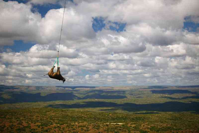 Vendado e sedado, o rinocertonte-negro é içado e transportado pendurado em um helicóptero por 10 minutos. Ele foi içado na Província de Cabo Oriental e levado a um caminhão que o transportou para seu novo lar a 1,4 mil quilômetros de distância. FOTO DE GREEN RENAISSANCE, WWF