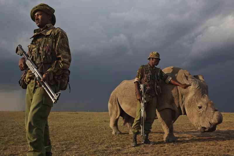 Com o chifre propositalmente retirado para evitar caçadores, um rinoceronte-branco-do-norte amansado, um de apenas 7 indivíduos da subespécie a sobreviver, pasta sob olhar de guardas na ONG do Quênia OI Peleja Conservancy. FOTO DE BRENT STIRTON, REPORTAGE FOR WWF/NATIONAL GEOGRAPHIC