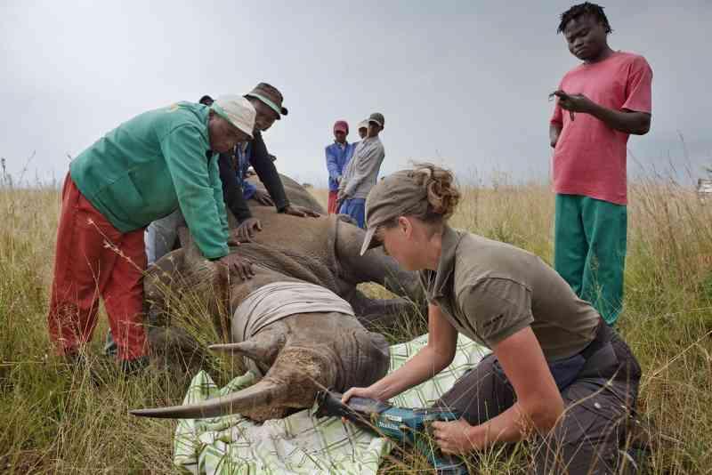 Veterinária corta os chifres de um rinoceronte-branco anestesiado em uma fazenda na África do Sul. FOTO DE BRENT STIRTON, REPORTAGE FOR WWF/NATIONAL GEOGRAPHIC