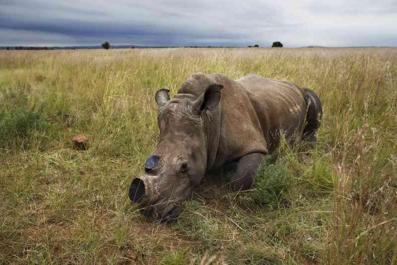 Rinoceronte-branco anestesiado – cujos os chifres foram cortados para evitar caçadores – descansa em Klerksdorp, África do Sul. FOTO DE BRENT STIRTON, REPORTAGE FOR WWF/NATIONAL GEOGRAPHIC