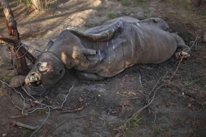 Rinoceronte em decomposição, com os chifres cortados, jaz no lugar onde foi estrangulado por um caçador na África do Sul. FOTO DE BRENT STIRTON, REPORTAGE FOR WWF/NATIONAL GEOGRAPHIC