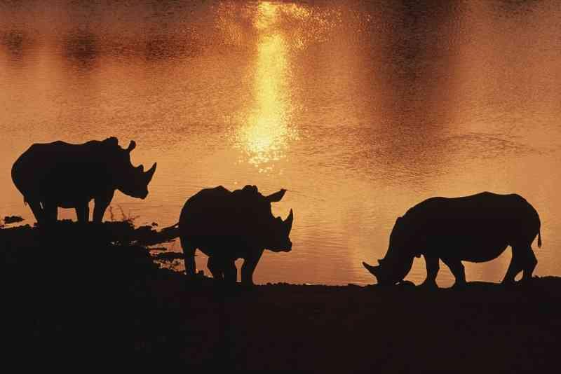 """A silhueta de rinocerontes-brancos aparece durante o pôr do sol na Reserva Privada Tshukudu, na Tanzânia. Rinocerontes, parte parte do chamado """"5 grandes"""", são um chamariz para turistas internacionais que viajam para ver a visa selvagem africana. FOTO DE BRENT STIRTON, REPORTAGE FOR WWF/NATIONAL GEOGRAPHIC"""