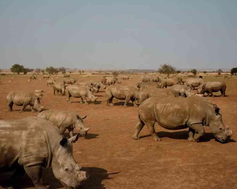 Rinocerontes pastam nas terras de John Hume em Klerksdorp, África do Sul. John é proprietário da maior fazenda de rinocerontes do mundo, com mais de 1,5 mil rinocerontes. Ele pretende vender os chifres de seu enorme estoque para ajudar a custear a segurança de seus animais. FOTO DE DAVID CHANCELLOR, KIOSK