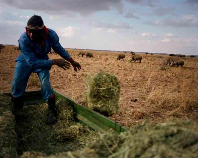 Um funcionário joga alfafa para rinocerontes brancos na fazenda de John Hume. A África do Sul é lar de aproximadamente 70% dos rinocerontes do mundo. FOTO DE DAVID CHANCELLOR, KIOSK