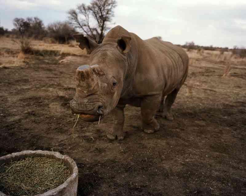 Um rinoceronte com o chifre cortado se alimenta na terra de Hume. Hume emprega um veterinário em tempo integral que trabalha 52 semanas por ano cortando os chifres dos rinocerontes. Cortar os chifres ajuda a deter caçadores. A decisão judicial de abril voltou a tornar legal a venda nacional de chifres de rinocerontes para fins lucrativos. FOTO DE DAVID CHANCELLOR, KIOSK