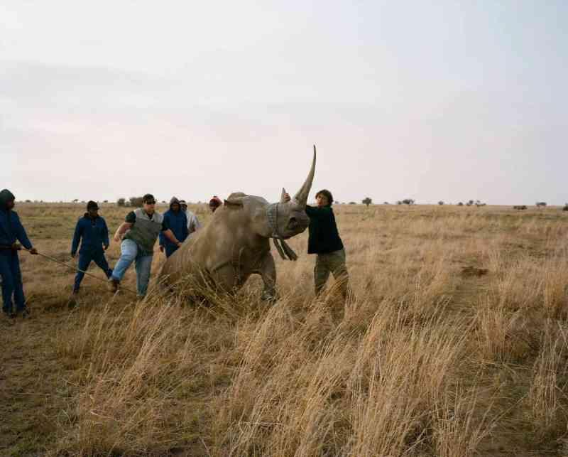 Um rinoceronte levemente sedado é vendado e levado ao chão antes de ter o chifre cortado. John corta os chifres de seus rinocerontes sistematicamente há anos. FOTO DE DAVID CHANCELLOR, KIOSK