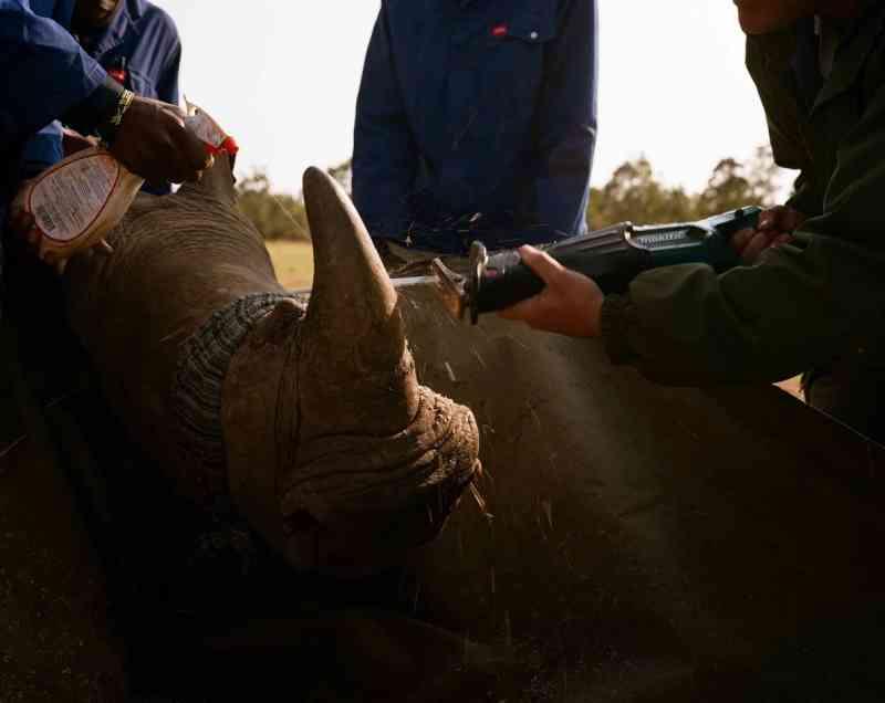 Um rinoceronte tem seu chifre cortado. John vem guardando os chifres desde a proibição da venda na África do Sul em 2009. O comércio internacional dos cornos foi proibido em 1977. FOTO DE DAVID CHANCELLOR, KIOSK