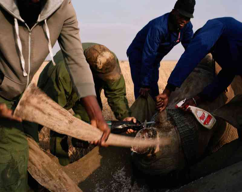 Funcionários da fazenda cortam o chifre de um rinoceronte. John tem aproximadamente seis toneladas de chifres de rinocerontes estocados. FOTO DE DAVID CHANCELLOR, KIOSK