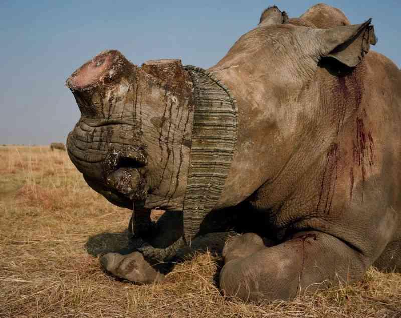 Este rinoceronte branco vendado acabou de ter seu chifre cortado. Além de cortar os cornos dos para prevenir a caça, John emprega uma equipe de segurança em tempo integral para proteger os animais. FOTO DE DAVID CHANCELLOR, KIOSK