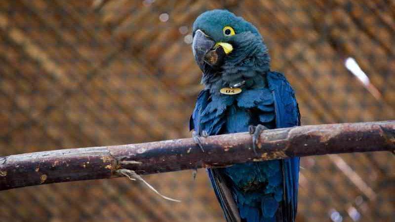 Arara-azul-de-lear — Foto: Marcelo Brandt/G1