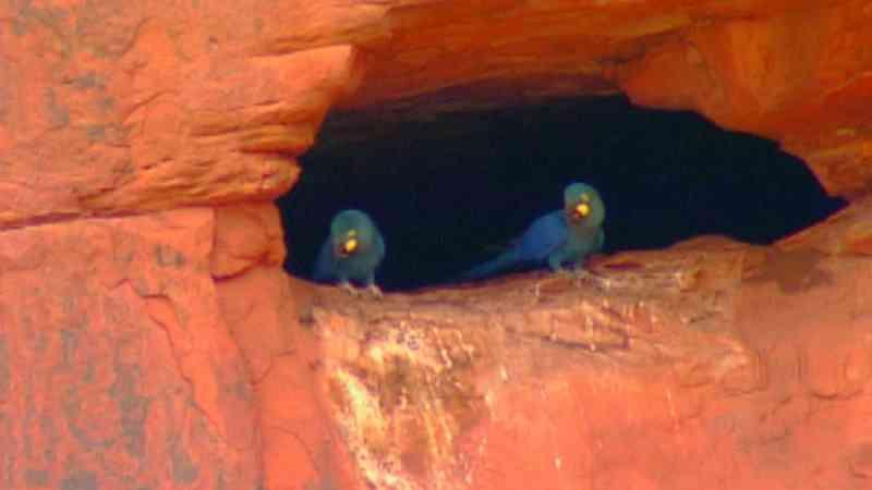Arara-azul-de-lear utiliza cavidades em paredões — Foto: Arquivo TG