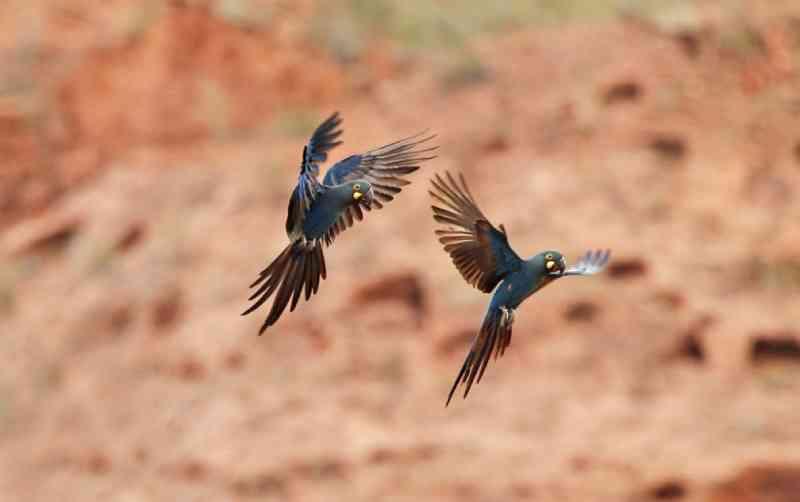 Casal de arara-de-lear sobrevoa caatinga baiana — Foto: Ciro Albano/Fundação Biodiversitas