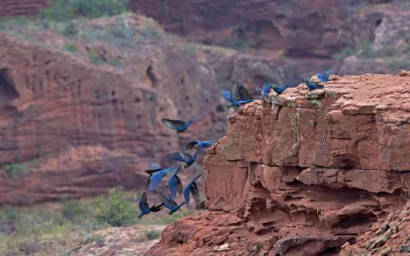 Araras saem todos os dias em pares ou bandos para áreas de alimentação — Foto: Ciro Albano/Fundação Biodiversitas