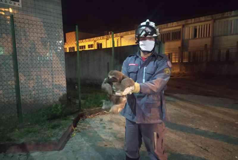 Bicho-preguiça é resgatado após cair de fiação elétrica perto de sede do Samu, em Porto Seguro, BA