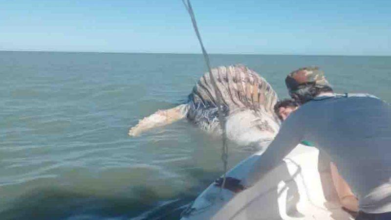 Baleia-jubarte é encontrada morta no litoral de Caravelas, região sul da Bahia. Foto: Projeto Baleia Jubarte