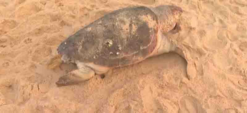 Tartaruga-marinha é encontrada morta em praia na região da Cidade Baixa, em Salvador, BA
