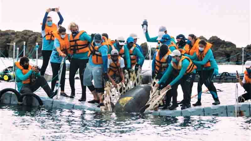 A Aquasis possui 16 peixes-boi em reabilitação. Destes, 14 estão na sede de Caucaia e dois em Icapuí. Foto: Divulgação/Aquasis