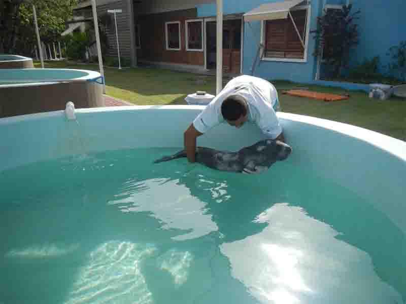 Legenda: Peixe-boi 'Pintada' ainda filhote no CRMM de Caucaia. Foto: Divulgação/Aquasis